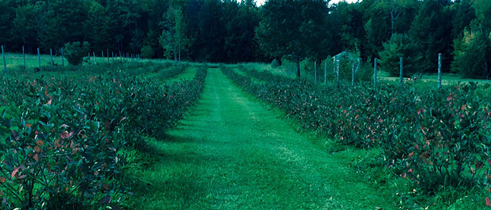Aronia Berry Patch in Plainfield, Vermont