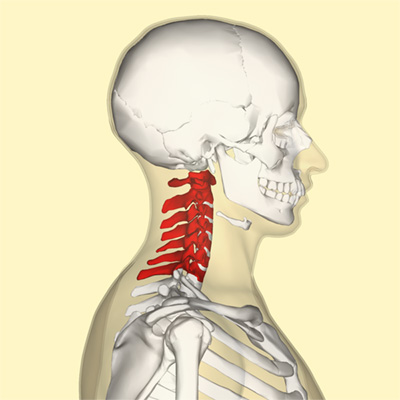 Position of human cervical vertebrae.