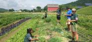 Vermont Youth Conservation Corps youth harvest onions at the farm in Richmond, Vt.